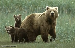 Omnivore Animals Bears