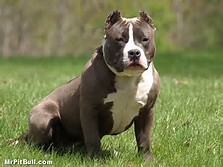 American Pit Bull Puppies