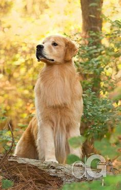 westminster show golden retriever winners westminster s best of breed pretty hair and westminster