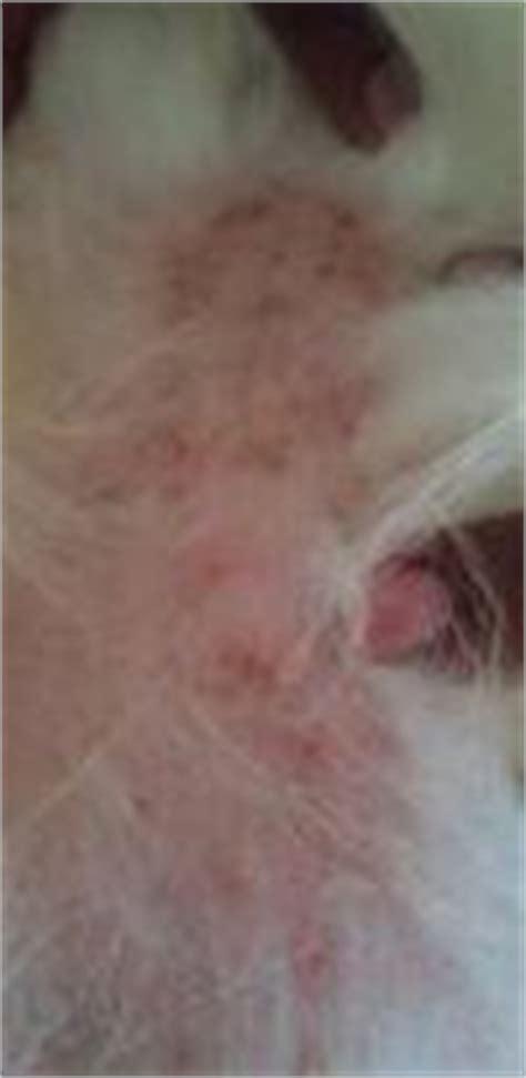 pomeranian skin fungus treating patchy flaky itchy skin on pomeranian