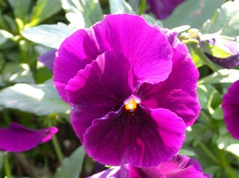 Fleur Violette by Fleurs Violettes D 233 Couvrez Leurs Signifiations