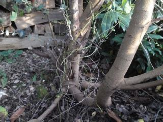 Comment Tailler Un Eucalyptus by D 233 Placer Un Eucalyptus Au Jardin Forum De Jardinage