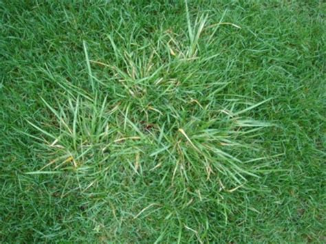 couch grass weed lawn turf problems couch grass turf growers