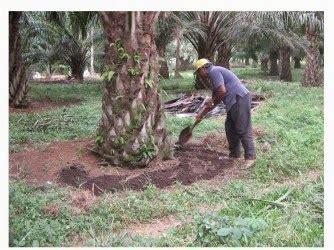 petani  pemupukan kelapa sawit