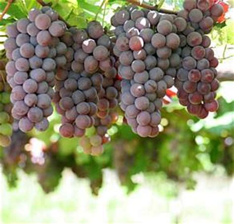 imagenes de uvas reales benef 237 cios da uva para a sa 250 de o poder das frutas