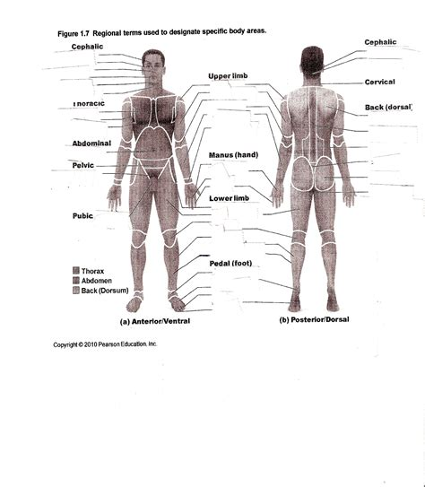 Anatomy And Physiology Regions Worksheet anatomy image organs top 10 free anatomy and