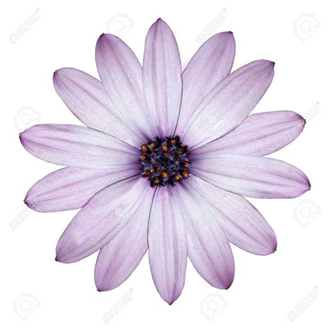 Flowery Top purple flower white backgrounds wallpaper cave