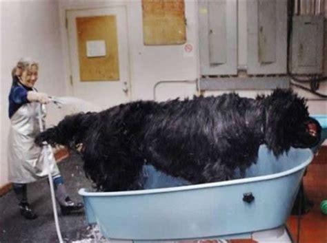 puppy washing big wash 1funny
