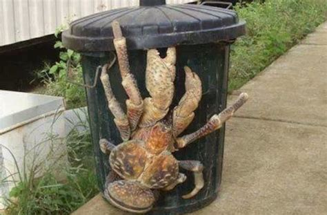 coconut crab amazing video shows coconut crab killing bird in brutal