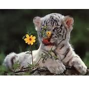 Baby White Tigers Wallpapers  2013