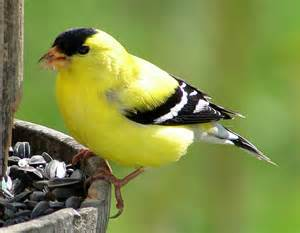 yellow finch american goldfinch aka carduelis tristis