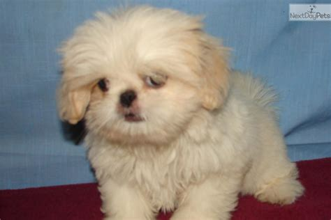 shinese puppies meet a pekingese puppy for sale for 250 shinese