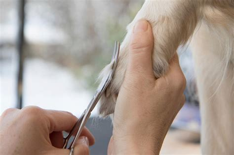 trimming a shih tzu learn how to shave your shih tzu we are here to guide you
