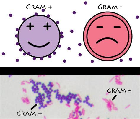 gram positive stain color gram positive vs gram negative bacteria simplified