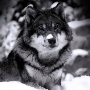 Wolf wolf 1280x960 2 jpg