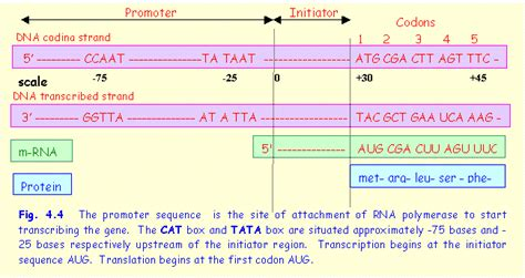 dna coding strand quotes