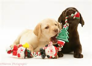Yellow and chocolate retriever pups chewing