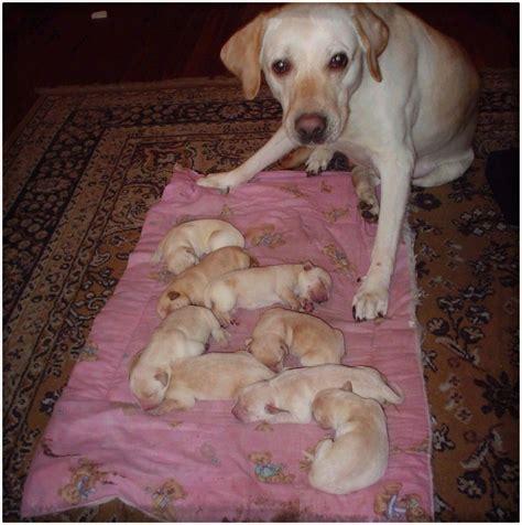 imagenes animales recien nacidos imagenes de perros labradores cachorros para descargar