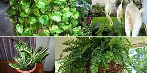 Tanaman Hias Peace Tanaman Pembersih Udara 15 tanaman hias sehat pembersih udara ruangan segaar desain rumah minimalis terbaik