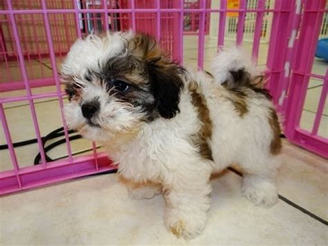 puppies for sale wisconsin shichon puppies for sale in green bay wisconsin wi eau waukesha