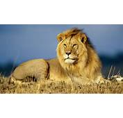 Lion Angry Wallpapers Big Cats Lions Pics