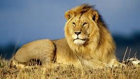 Lion King African Animals