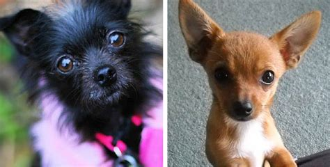 and chihuahua mix puppies 14 ridiculously chihuahua mixes you to see to believe