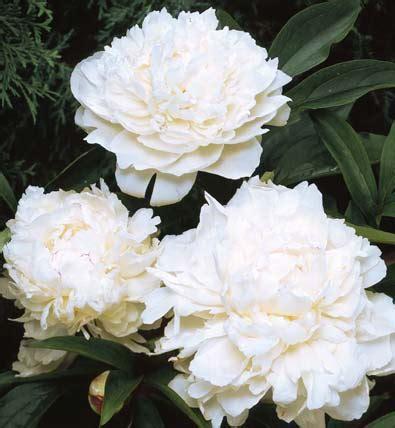 Maxiinner Peony paeonia peony lactiflora festiva maxima degroot