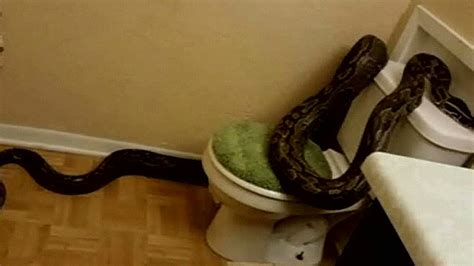 Snake In Bathtub by 12 Foot Python Takes S Bathroom Cnn
