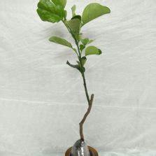 Benih Terong Ungu Starlight tanaman hias pembersih udara dalam ruangan bibitbunga