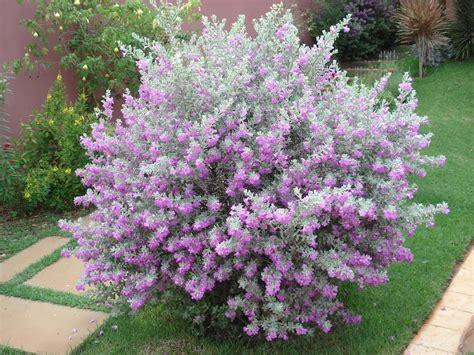 entrada hoa plantas leucophyllum frutescens