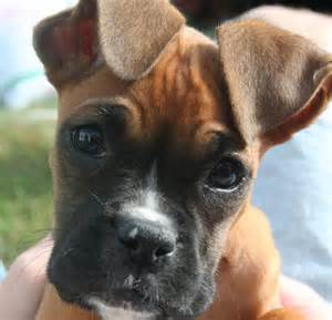 The boxer breed of dog was originally developed in germany it is a
