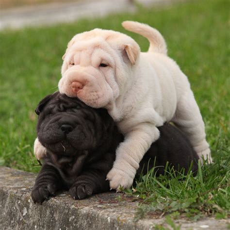 shar pei puppies shirk your work these pictures of shar pei puppies