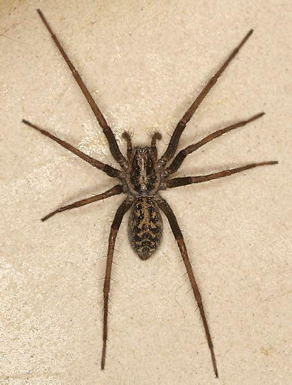 giant house spider giant house spider eratigena atrica bugguide net