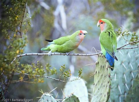 1000 images about lovebird on pinterest parrots birds