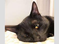 Gatto nero: razze e superstizione - Idee Green L Bello