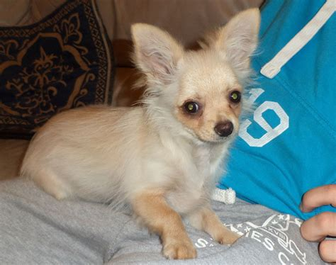 pomeranian chihuahuas pomeranian chihuahua hybrid pictures 3 m5xeu breeds picture