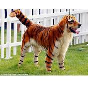 The Dog Thats Just Dyeing To Be A Tiger How Chinese Owners Turn