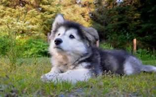 Husky Work Light Alusky Husky Malamute Info Training Puppies And Pictures