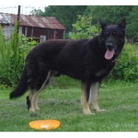 black german shepherd puppies illinois oversize akc german shepherd puppies due solid white black silver breeds picture