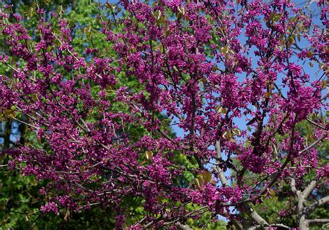 japanese redbud tree photos plant whatever brings you 187 the flowering tree