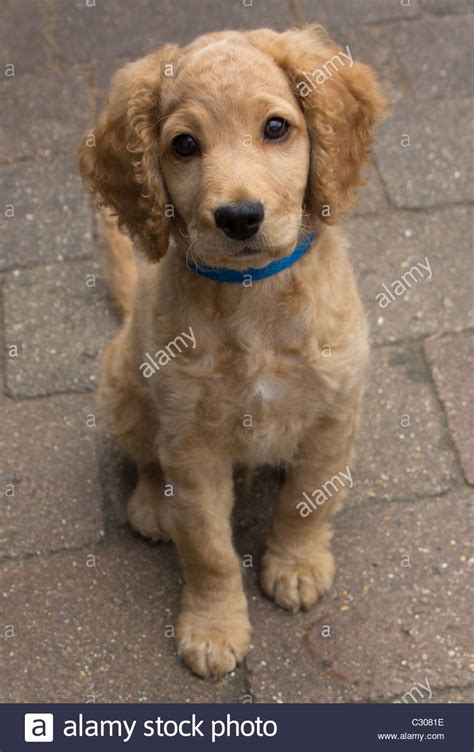 11 week puppy dogs 11 weeks cockapoo puppy stock photo royalty free image 36271018 alamy