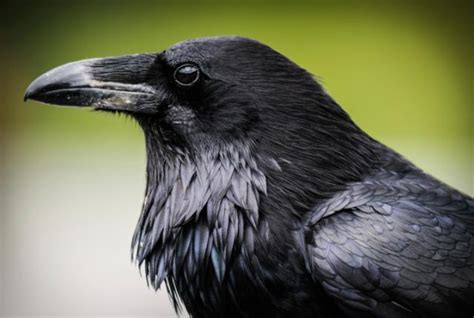 corvidae facts and photography
