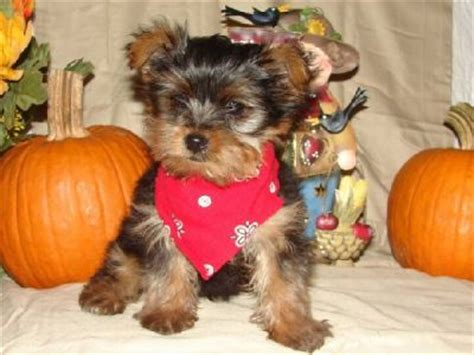 adorable teacup yorkie puppies for adoption adorable teacup yorkie puppies for adoption