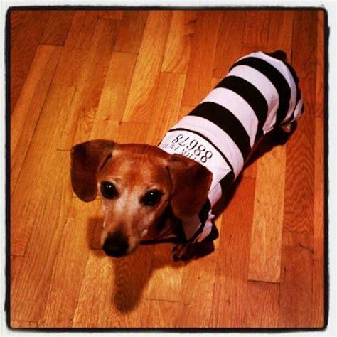 costume for dachshund dachshund costumes holidays