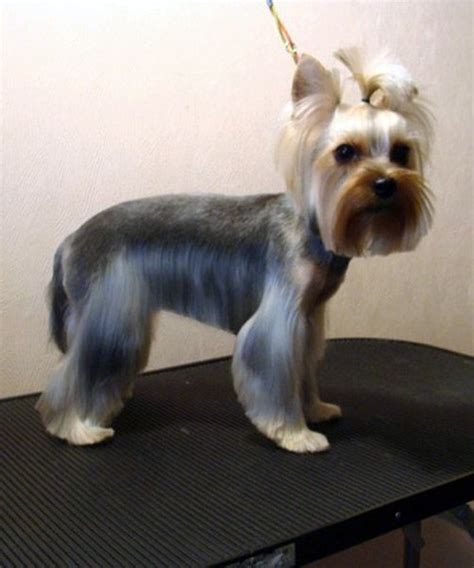 how to cut yorkie hair at home 17 best images about yorkis on pinterest yorkshire