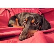 Looks Like A Wiener Dog For Pinterest