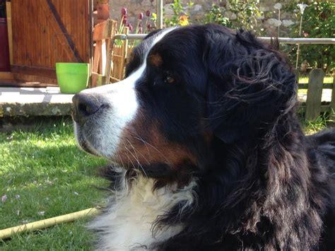 bernese mountain breeders ma 17 best ideas about bernese mountain dogs on bernese bernese mountain