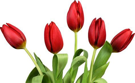 Benihbijibibit Bunga Tulip Blanc tulip png images free
