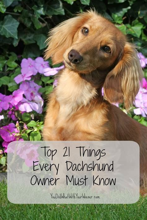7 Facts On Dachshunds by 25 Best Ideas About Dachshund On Weiner Dogs
